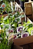 A create of lettuce seedlings