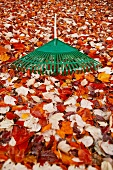 A garden rake on a bed of autumnal leaves