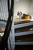 English bulldog resting at top of staircase