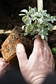 Planting out a sage plant