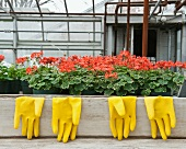 Bright Yellow Rubber Gloves and Geraniums