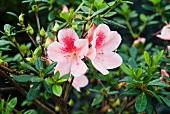 Rosa Azaleen auf dem Strauch