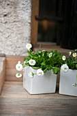 Potted daisies on window sill