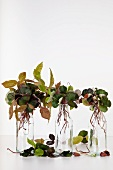 Young copper beech shoots in small glass bottles