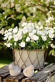 weiße Blume im Blumentopf im Garten