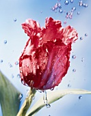 Parrot tulip and water drops