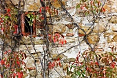 Stone Cottage and Virginia Creeper in Fall Color