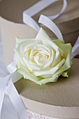 A white rose with a decorative white ribbon