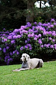 A Weimaraner dog lying on the lawn next to a flowering rhododendron bush