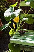 Flowering cucumber plant growing up garden chair