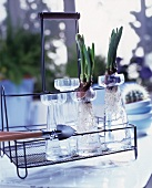 Flower bulbs in glass vases on a vintage style metal rack
