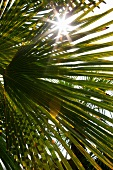 Sun shining through palm leaves