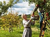 Älteres Ehepaar bei der Apfelernte