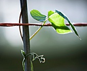 A runner bean leaf on a stem