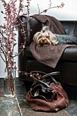 Yorkshire terrier on leather sofa with cherry blossom and dog carrier bag