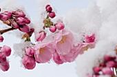 Schneebedeckte Kirschblüten