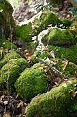 Mossy woodland stones