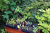 Various seedlings in seed trays and pots on wooden table in front of raspberry bushes and ivy in garden with summery vintage character