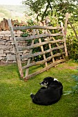 Rustic, weathered wooden gate next to stone, English garden wall; black and white dog lying on lawn in foreground