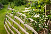 Flowering elder branch in front of blurred wooden gate in English country house garden