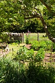 Various plants in sunny, early summer kitchen garden with stone garden wall and fence bordering green meadow in background