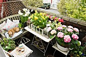 View of small balcony with vintage character and luxuriant display of flowers on table and chair; small dog on wooden bench with cushions