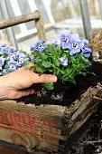 Planting out violas
