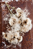 Wild thistle (silver hair) seeds on the stems on a rusty surface