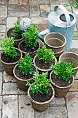 Boxwood in plant pots next to a zinc watering can