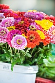 Colorful bouquet of zinnias in a pail on a market stall