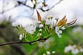 Stark fokussiertes Detail eines Kirschbaums mit blühenden Kirschblüten
