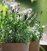 Plant pots with lavender