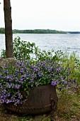 Violette Blumen in verrostetem Eisentopf; im Hintergrund die offene Seelandschaft