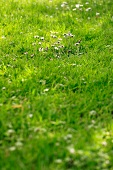 Lush lawn with red and white daisies