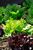Three varieties of lettuce in a vegetable bed