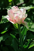 Splendid variegated pink and white peony