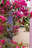 Pink bougainvillea in courtyard of mexican boutique hotel Hotelito