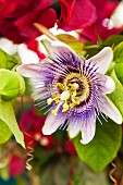 Close-up of a passion flower, Passiflora