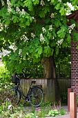 Bicycle leaning against a wooden fence under a blooming chestnut tree