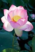 Flowering lotus in sunlight