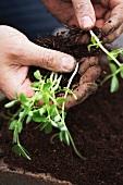 A man sorting pea plant seedlings