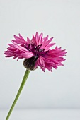 Eine Kornblume