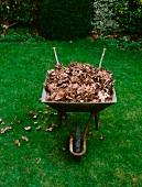 A wheelbarrow full of dry leaves