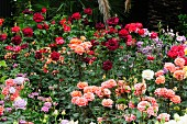 Roses of various colours in rose garden