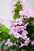 Pastel lilac phlox flowers