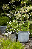 Plants in zinc container and watering can in summery garden