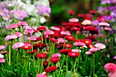 Bed of red and pink daisies ('Rob Roy')