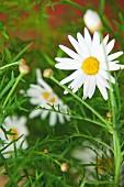 Close-up of ox-eye daisy