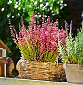 Heather and lavender in sunlight