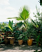Ensete, Livistona, fan palm (Washingtonia) and phoenix palm on a balcony